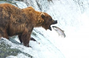Brooks Falls Bear Viewing by Wilson Reynolds