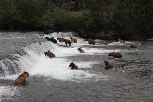 Brooks falls Alaska brown bears