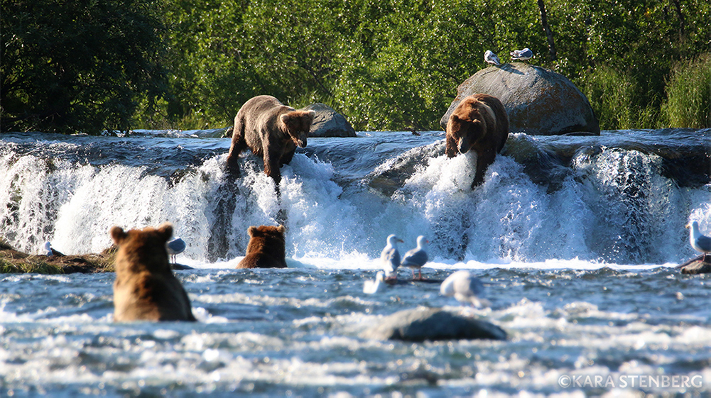 Brooks Falls brown bears by Kara Stenberg
