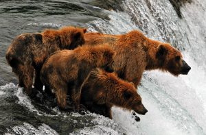 Spring grizzly sow and cubs at Brooks Falls by Barry and Cathy Beck
