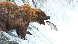 Brooks Falls Bear Viewing by Wilson Reynolds