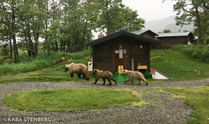 Bears at Brooks Lodge by Kara Stenberg